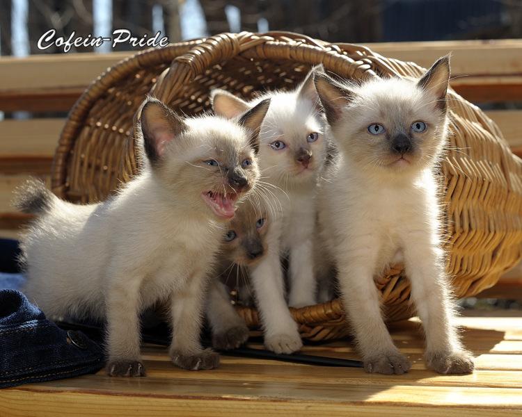меконгский бобтейл, котята всех окрасов,  питомник Кофеин-Прайд