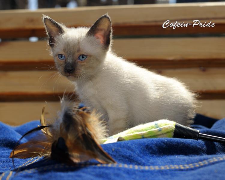 mekong bobtail kitten Tiffany Cofein-Pride