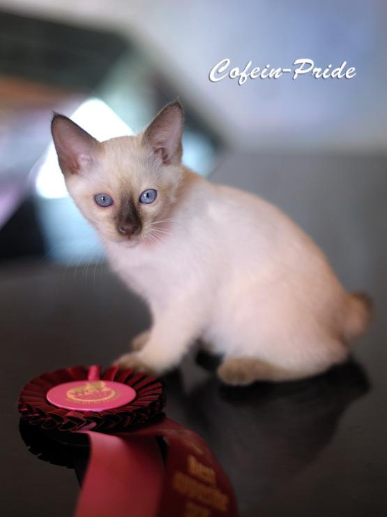 mekong bobtail kitten Talestra Cofein-Pride, chocolate point,  Cofein-Pride cattery