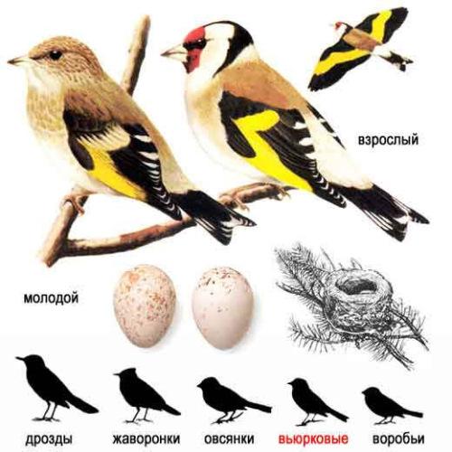 щегол, молодой щегол, гнездо щегла, яйца щегла
