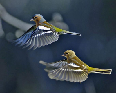фото птицы зяблик