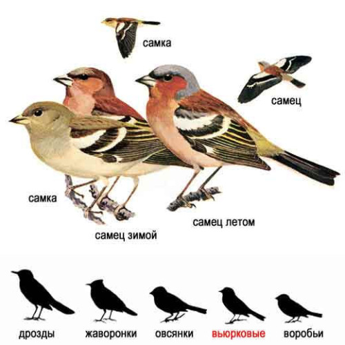 зяблик птица