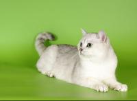 Британские котята шиншиллы с.