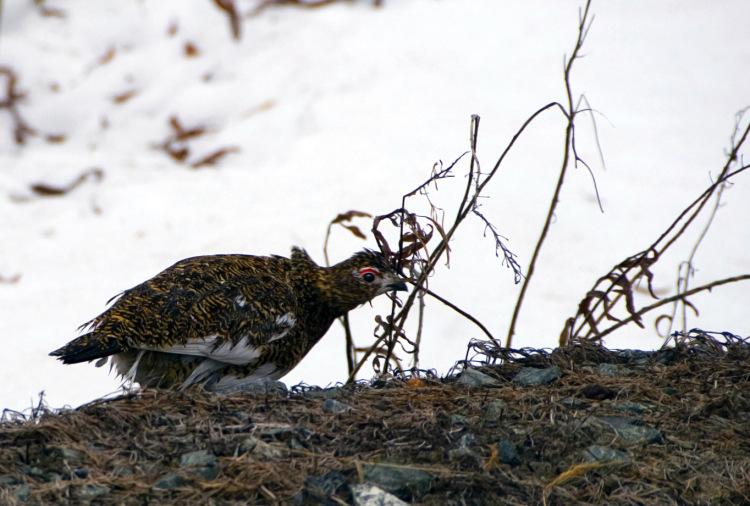 как ловить фазанов и куропаток
